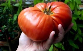 Лучшие крупноплодные сорта томатов для теплиц
