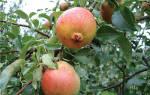 Груша красуля описание сорта отзывы садоводов фото