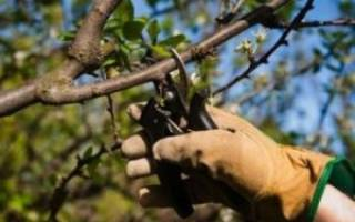 Обрезка яблонь весной + схема для начинающих