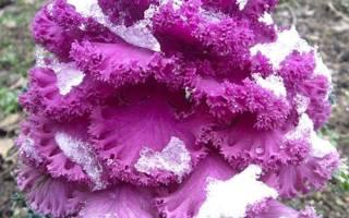 Капуста декоративная выращивание из семян когда сажать