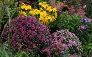 Хризантема мультифлора посадка и уход черенкование ранние сорта