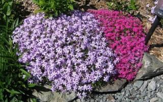 Низкорослые многолетники цветущие все лето + фото с названиями