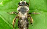 Дикие пчелы описание виды как приручить