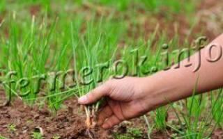 Подкормка лука весной