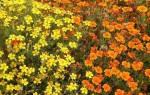 Бархатцы мимимикс фото выращивание