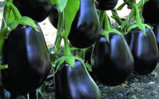 Баклажаны – выращивание рассады из семян высадка в грунт