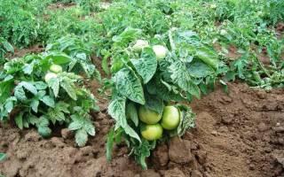 Штамбовые сорта томатов для открытого грунта