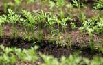 Белая морковь семена описание сортов с фото
