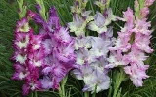 Гладиолусы фото цветов лучшие сорта