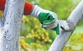 Посадка и уход за черешней осенью обрезка подкормка побелка укрытие черешни на зиму