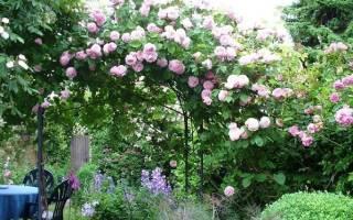 Розы остина в ландшафтном дизайне + фото
