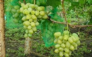 Виноград монарх описание сорта фото отзывы