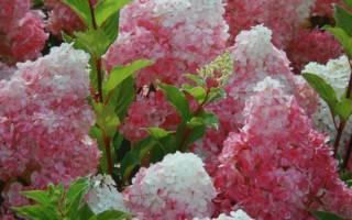 Метельчатая гортензия ванилла фрейз фото посадка и уход размножение отзывы