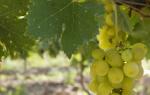 Виноград плевен описание сорта фото отзывы
