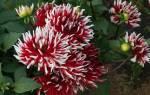 Георгина кактусовидная смесь фото