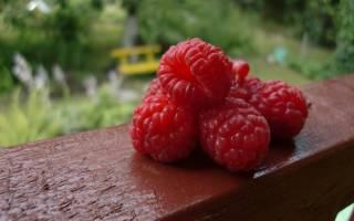 Малина блестящая описание сорта фото отзывы выращивание
