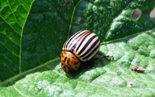 Душистый табак от колорадского жука