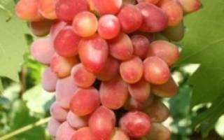 Сорт винограда арочный фото описание