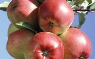 Яблоня лигол описание фото отзывы
