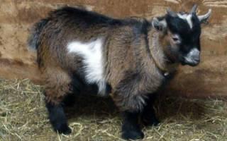 Камерунские карликовые козы описание породы фото отзывы