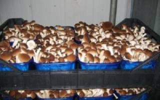 Выращивание белых грибов в промышленных масштабах