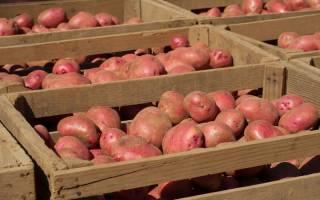 Как хранить картофель зимой в погребе