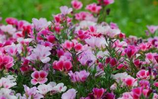 Цветы годеция посадка и уход + фото
