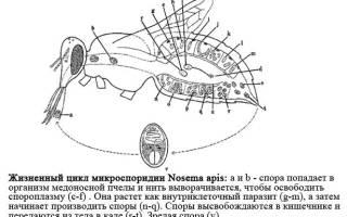 Нозематоз обработка пчел осенью народными средствами полынью