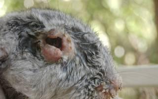Болезни кроликов симптомы и их лечение + фото