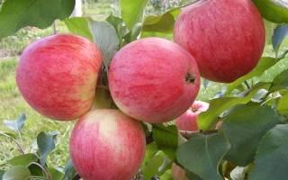 Яблоня конфетное описание фото отзывы