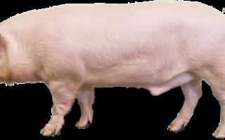 Ландрас порода свиней характеристика + фото