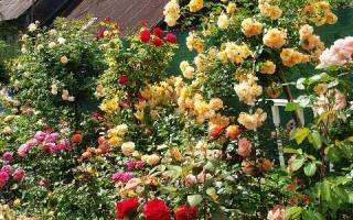 Цветымноголетники для сада неприхотливые долгоцветущие + фото