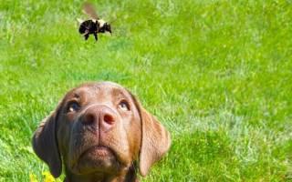 Собаку укусила пчела фото укус в нос в лапу что делать