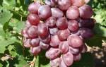 Виноград виктория описание сорта фото отзывы