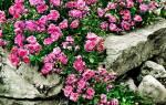 Почвопокровные розы фото описание и названия
