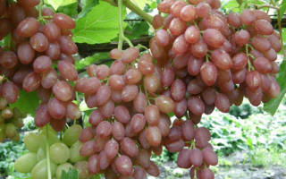 Виноград кишмиш лучистый описание сорта фото отзывы