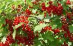 Красная смородина ненаглядная описание сорта фото отзывы