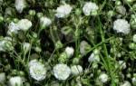 Гипсофила многолетняя снежинка выращивание из семян