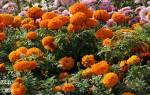 Бархатцы фото цветов описание