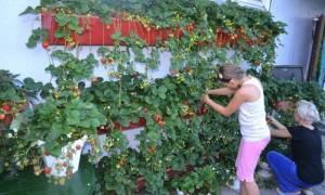 Выращивание клубники в ящиках ведрах на улице