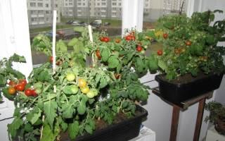 Рассада помидор на балконе
