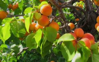 Прививка абрикоса весной летом осенью