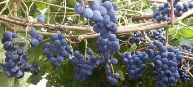 Виноград зилга описание сорта фото отзывы