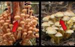 Опята летние фото и описание как отличить от ложных