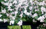 Как выглядит боярышник фото выращивание и уход