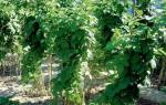 Ремонтантная малина выращивание обрезка и уход + видео