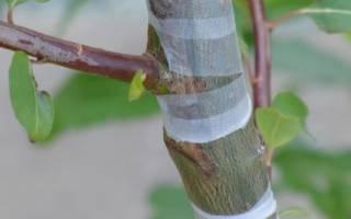 Как привить грушу когда лучше на какое дерево пошаговое руководство