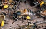 Пчелыубийцы африканская фото