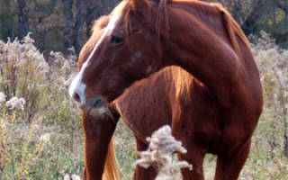 Буденновская лошадь описание породы фото характеристика