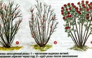 Обрезка роз на зиму